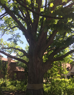 "<img src=""Big-oak-2.png"" alt=""Big old oak tree"">"